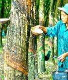 Kỹ thuật trồng cây cao su