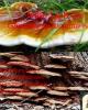 Bài giảng Sinh học và kỹ thuật trồng nấm - Bài: Nấm linh chi